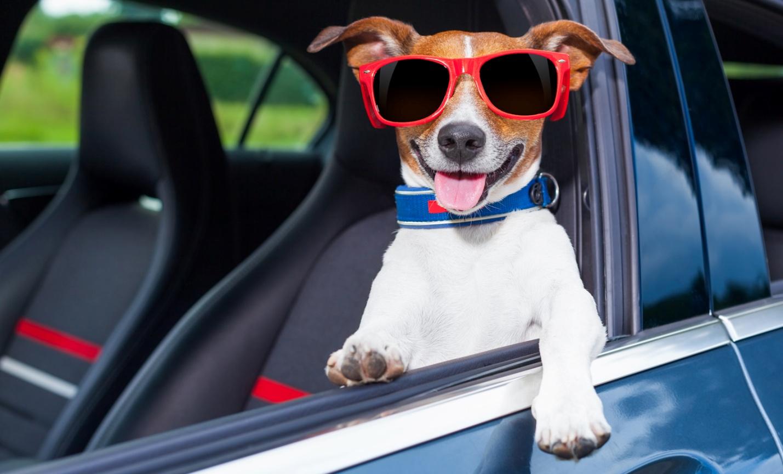 счастливый пес в машине